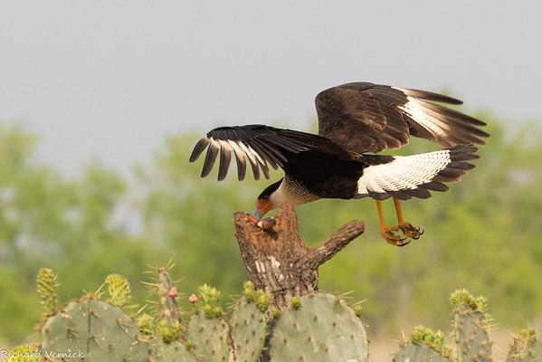 Texas Birds 2021