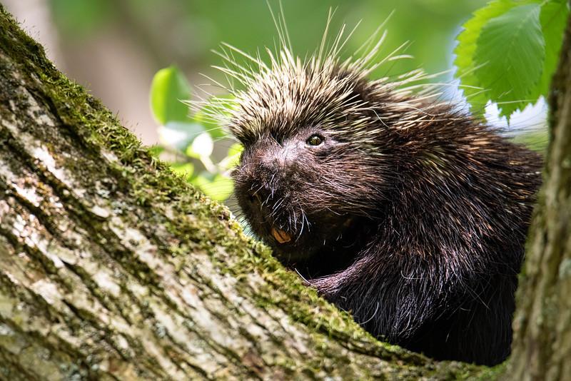 Porcupine (1 of 1).jpg