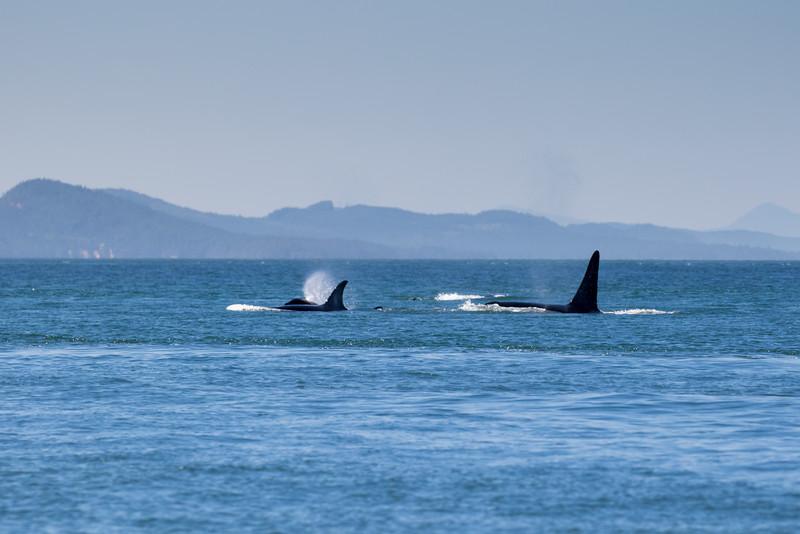 Orcas -  073115-017.jpg
