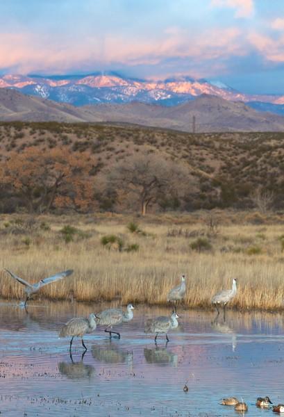 Sandhill Crane Bosque del Apache NWR Socorro NM IMG_0007335.CR2.jpg