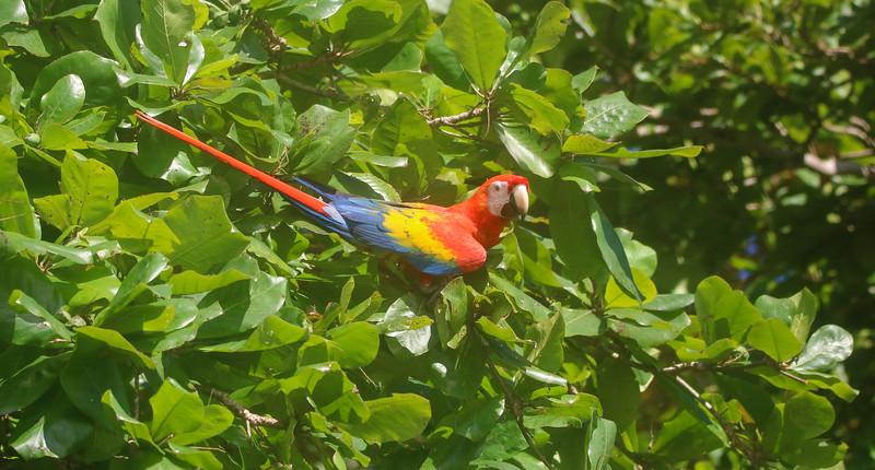 Red Scarlet Macaws (Ara Macao) in Costa Rica