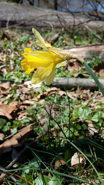 a daffodil in the woods