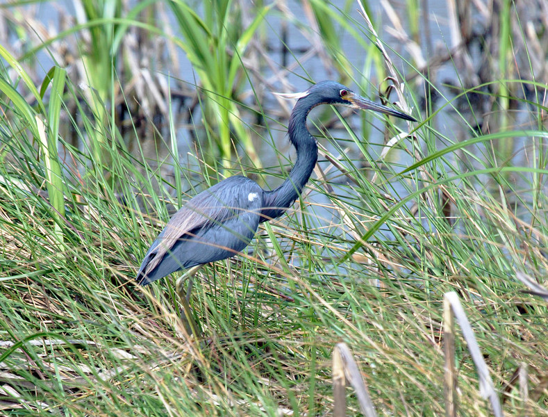 Little blue heron -- other profile.