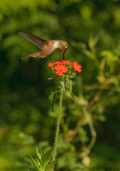 Juvenile Rufous Hummingbird feeding on Maltese Cross