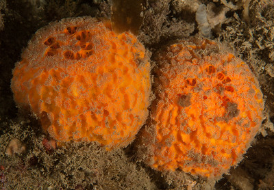 Porifera, Eastern Pacific