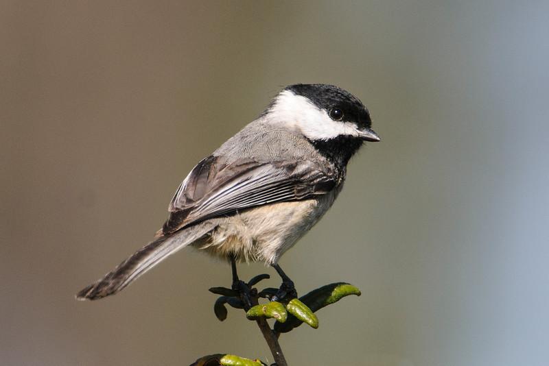 Chickadee - Carolina - Bald Point State Park - FL