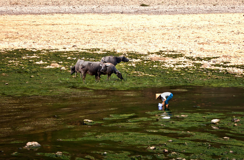 Gathering food in tghe Li River, China with nearby water buffalo