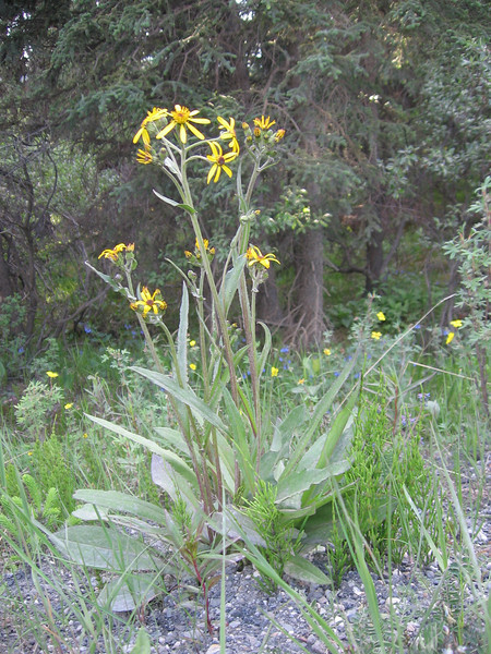 Black-tipped Groundsel