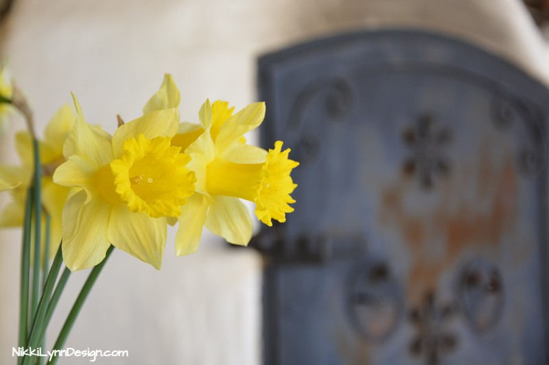 Forcing Daffodils- Chose a container that the outside diameter rim is at least 7-inches. Plant 4 bulbs in the container with the top at least a 1/2-inch of the bulb showing above the soil line.