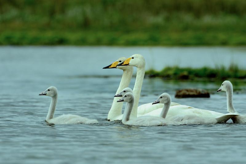 Whooper Swan.JPG