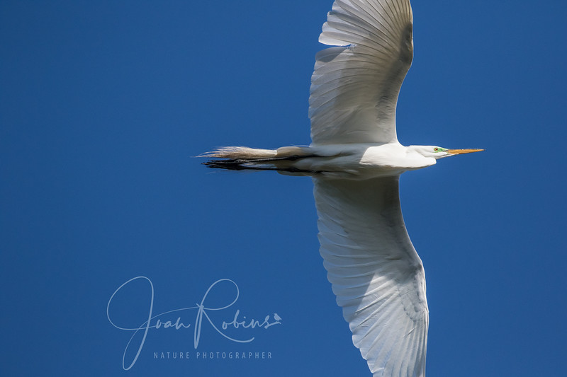 The Great Egrets were flying through the wind too.