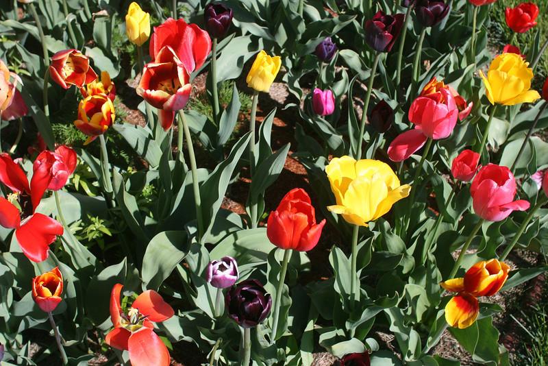 Tulips 2011 012.JPG
