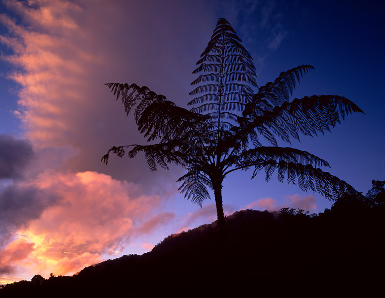 El Triunfo Biosphere Reserve, Chiapas, MEX / Tree ferns, Helecho (Spanish) Cyathea sp., silhouetted against sunset after passing storm. 408H2