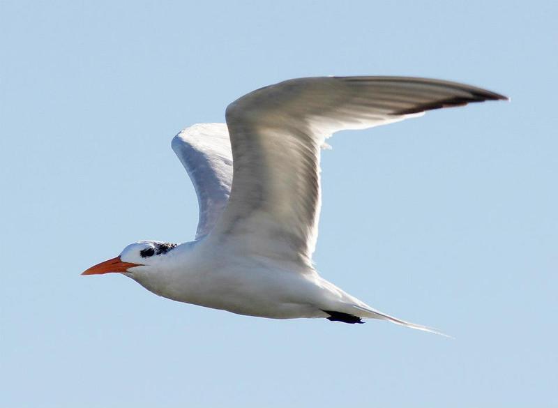 Winter royal tern