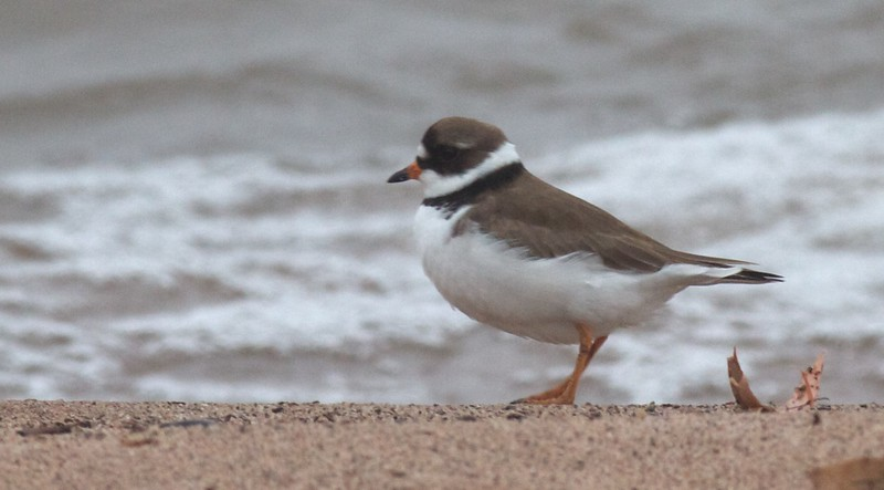 Semipalmated Plover Park Point Duluth MN IMG_3304.jpg