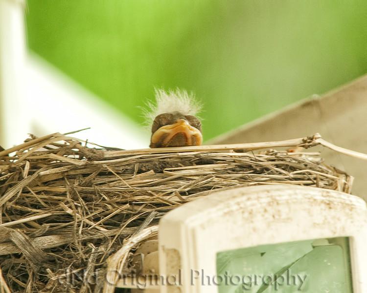 041 Baby Robins Spring 2013.jpg