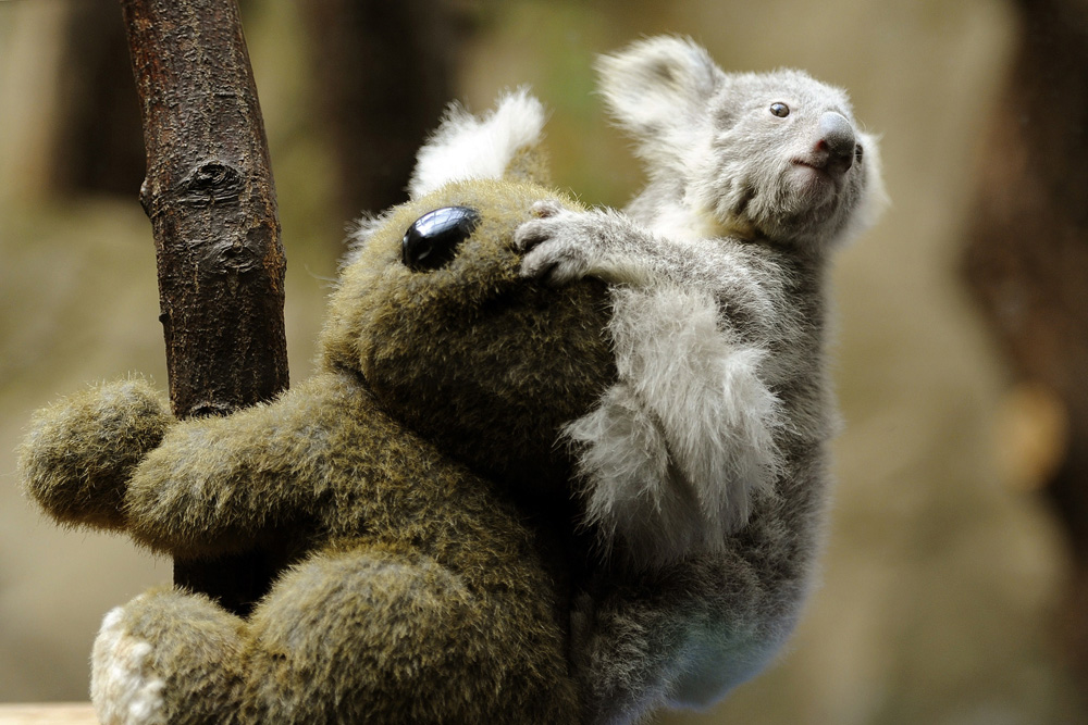 Description of . A 6-month-old koala sits on the back of a toy koala before weighing at the zoo in Duisburg, Germany, on March 27, 2013. AFP PHOTO / MARIUS BECKER