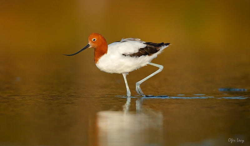 Red-necked Avocet portrait 4 MASTER.jpg