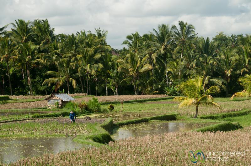 Ubud Rice Fields - Bali, Indonesia