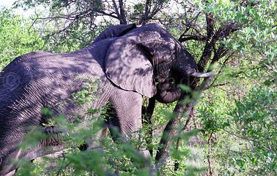 ELEPHANTS AT KRUGER PARK