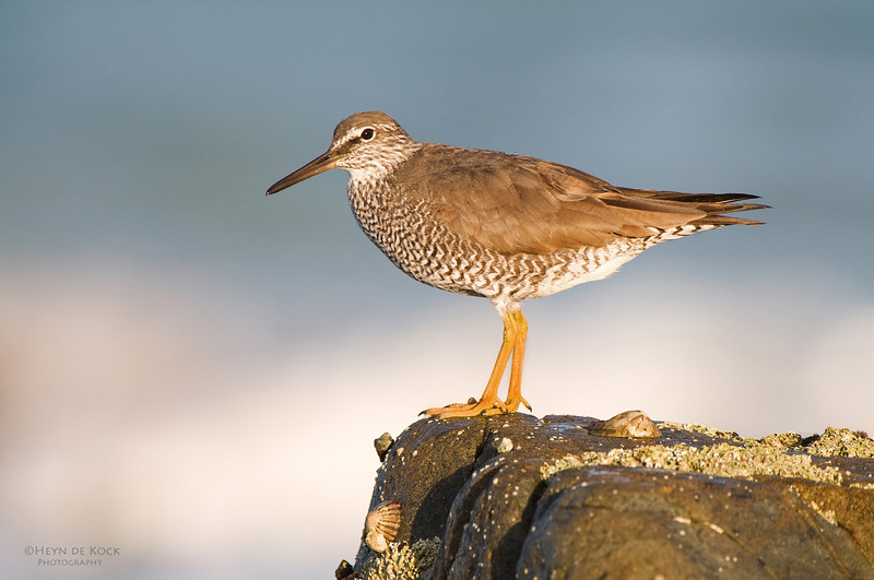 Wandering Tattler, Hastings Point, NSW, Aus, March 2011.jpg