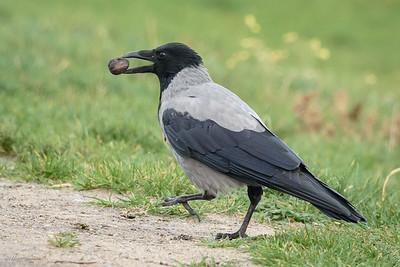 Crow, Hooded (spp. cornix)