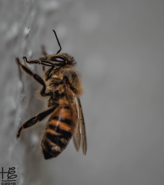 Honey bee on wall