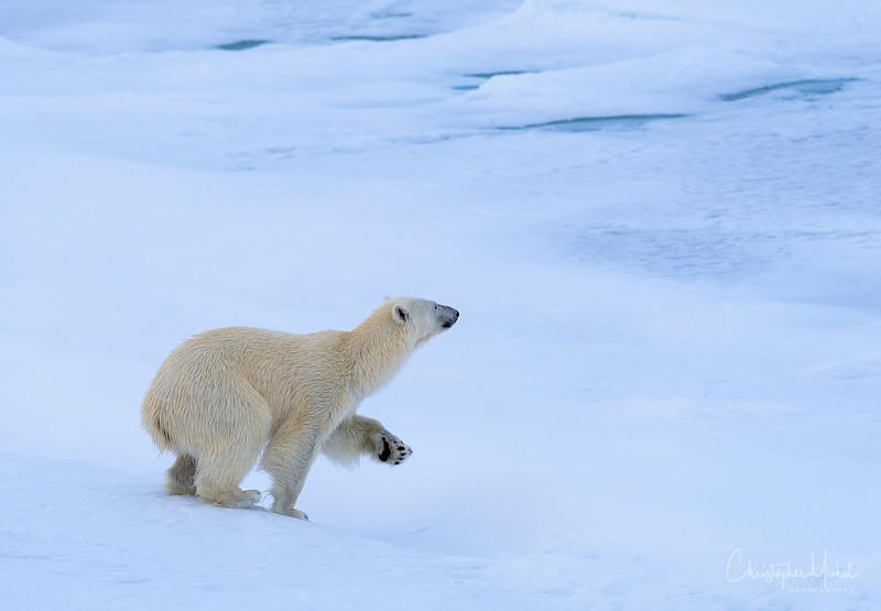 Polar Bear Paws.jpg