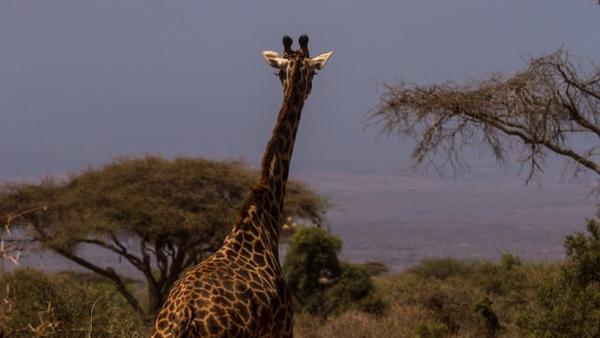 giraffes - 5.jpg