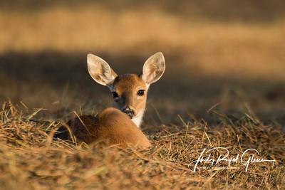 Deer | Fawns | Elk