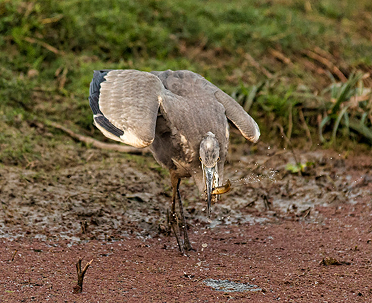 White Bellied Stork & Catch.jpg