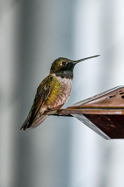 21MayHummingbirds (47 of 53).jpg