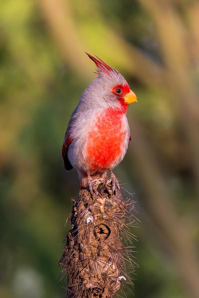 Pyrrhuloxia (Cardinals sinuatus)