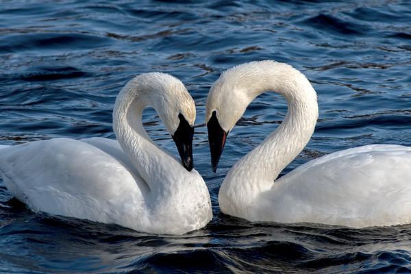 swans 2019