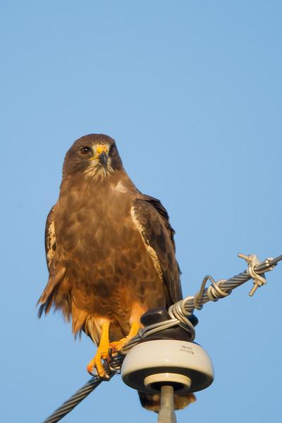 Swainson's Hawk - Sierra Valley, CA, USA