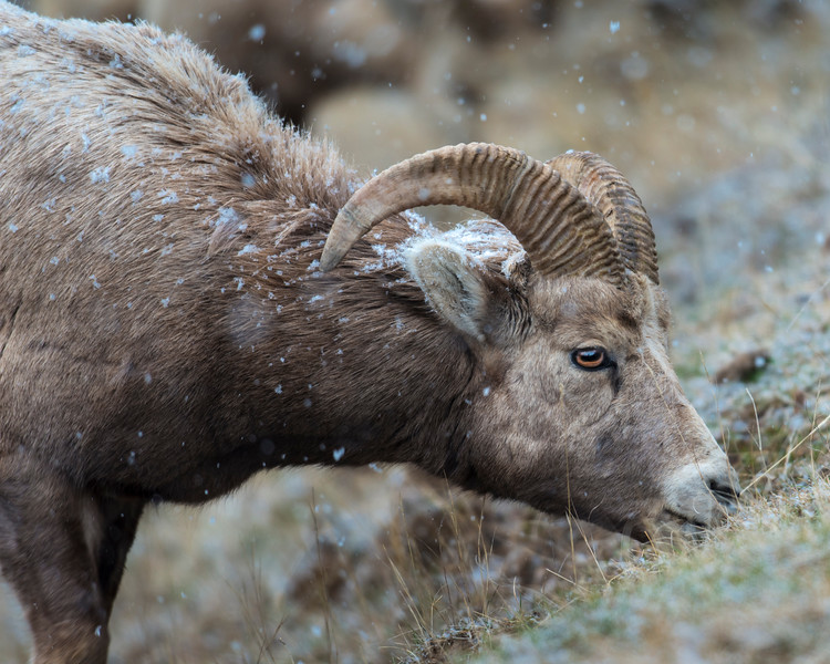 Mountain Sheep - first snow