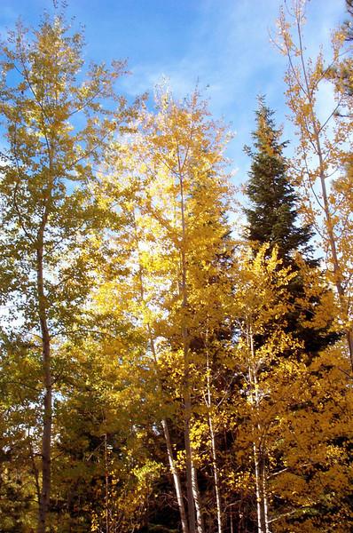 Aspen golden.jpg