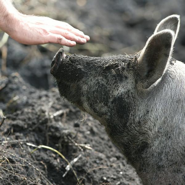 Pig_6744.jpg