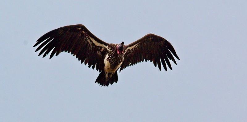 Lappet-faced Vulture, Naboisho Conservancy