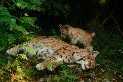 Lynx mother with her kitten