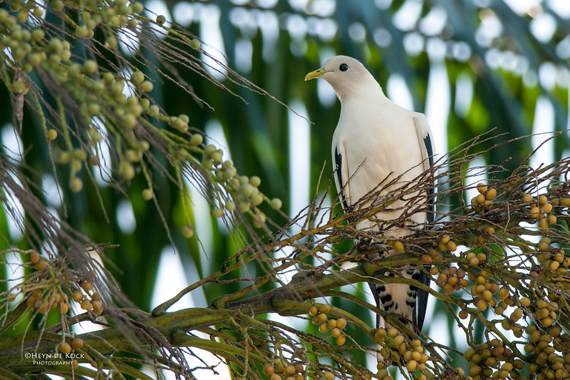 Pied Imperial Pigeon, Cairns, QLD, Dec 2009.jpg