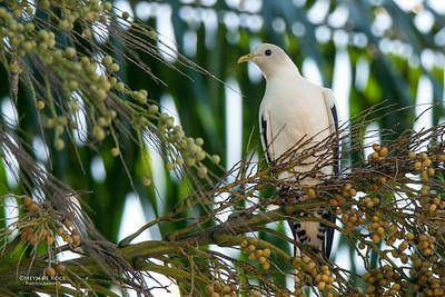 Torresian Imperial Pigeon (Ducula spilorrhoa)