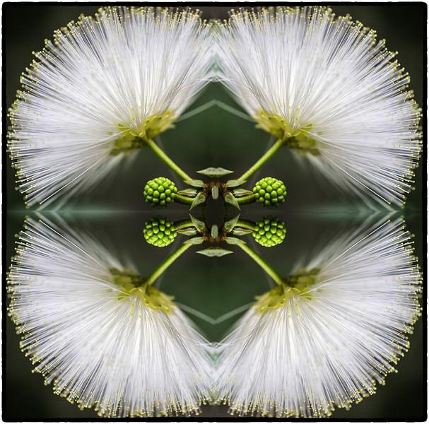 Fairy Duster flower flipped twice