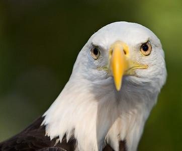 Bald Eagle at the Audubon Center for Birds of Prey Florida.