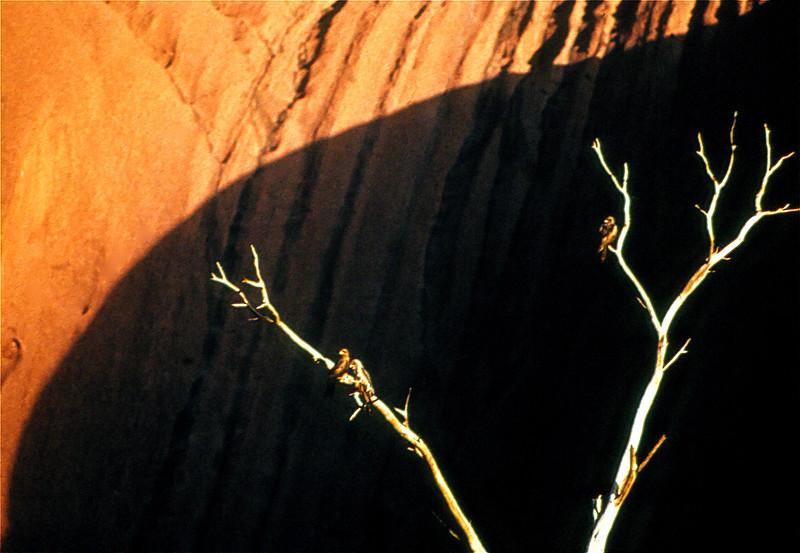 1402 Dead Trees Red Kites Ayers Rock 1971.jpg