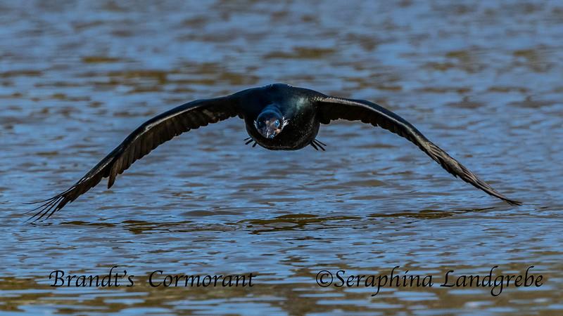 _DSC4354Brandt's Cormorant.jpg