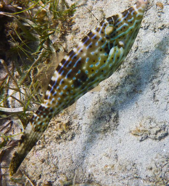 A Filesfish seen while snorkling in Lamshur Bay, St John