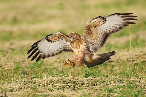 Buzzards -עקבים