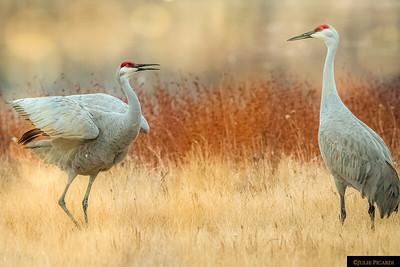 Cranes Having a Conversation