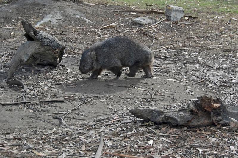 Wombat 3 - Tasmania, Australia